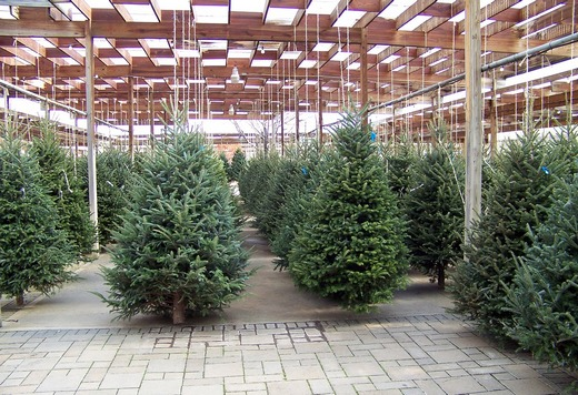 The evergreen trees used for Christmas tree decorating