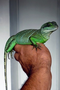 Man's hand holding a green pet lizzard