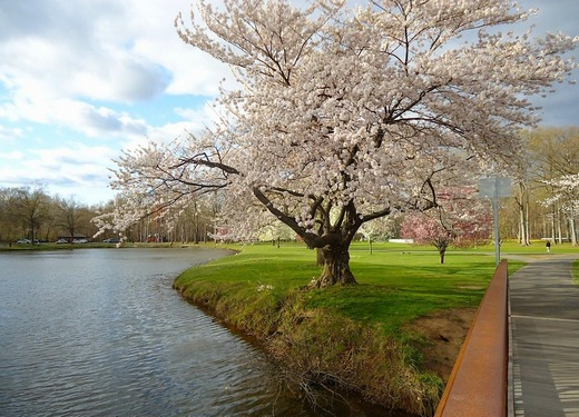 A blossoming tree next to the water in a part in NJ.