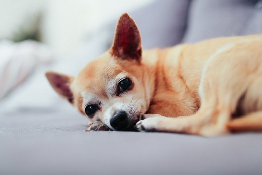 a chihuahua lying on a couch